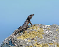 Free Black Girdled Lizard Royalty Free Stock Images - 86287539