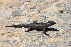 Black girdled lizard Stock Photos