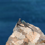 Black Girdled Lizard and Southern Rock Agama. On a rocky outcrop over the ocean in Southern Africa royalty free stock images