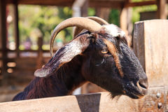 Black goat Stock Photography