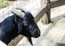 Black Goat Royalty Free Stock Photography