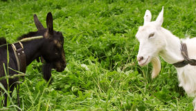 Black goat against white Royalty Free Stock Images