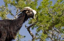 Black goat in Argan tree Stock Photo