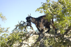 Black goat in Argan tree Stock Image