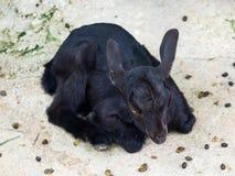 Black Goat Royalty Free Stock Image