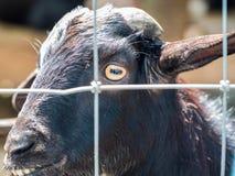Black Goat Stock Photo