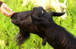 Black Goat and Child's Hand touching nose Stock Image