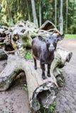 Black goat climbed on log Stock Images