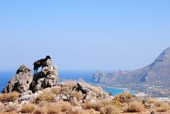 The black goat in the Crete Stock Images