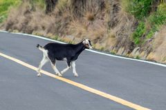 A black goat crosses a road stock photography