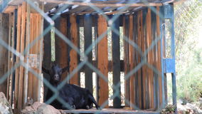 Black goat cud in the shade,two shots. Summer time stock video footage