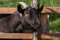 Black Goat during Daytime Stock Photos