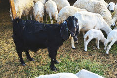 Black goat eat grass between white sheep Stock Photos