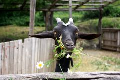 Black goat eating camomiles, grass in the yard. stock photography