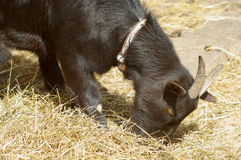 Black goat eating hay Royalty Free Stock Photos