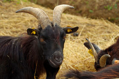 Black goat Stock Photo