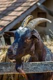 Black Goat on the farm Royalty Free Stock Photography