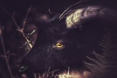 The black goat in the ferns royalty free stock photos