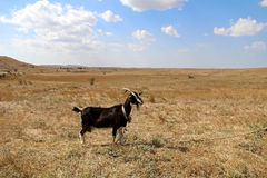 Black goat on the field in autumn. Royalty Free Stock Photos