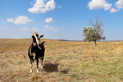 Black goat on the field in autumn. Stock Photography