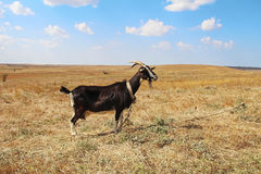 Black goat on the field in autumn. Royalty Free Stock Photo