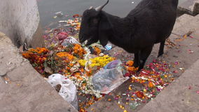 Black goat on Ganges river coast eating ceremony flowers in Varanasi. India stock footage