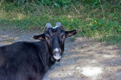 Black goat. A black goat goes for a walk on a green grass Royalty Free Stock Photos
