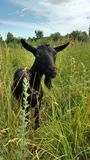 Black goat. A black goat grazes on a meadow Royalty Free Stock Photo
