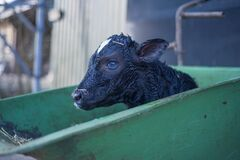 Black Goat in Green Cart during Daytime Stock Photography