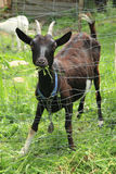 Black goat in the green garden Royalty Free Stock Images