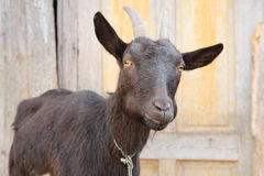Black goat head. As portrait form home farm Stock Image