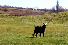 Black goat Stock Photography