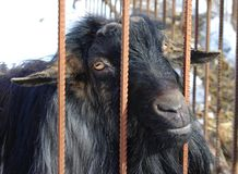 Black goat without horns in a cell Royalty Free Stock Images