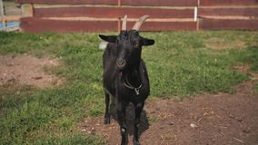 Black goat with horns in the village stock video