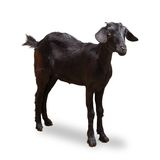 Black Goat Royalty Free Stock Photos