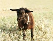 Black Goat Kid Stock Images