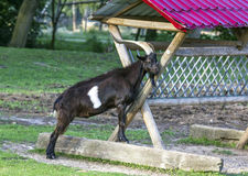 Black goat with long horns leaning against a wooden feeder Stock Photos