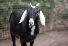 Black goat looking at a camera Royalty Free Stock Photos