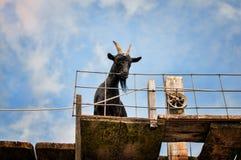 Black goat Stock Photos