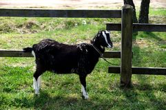 The black goat Stock Photos