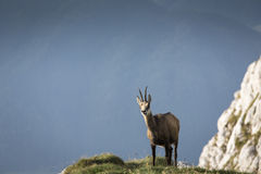 Black goat in the mountains wildlife Royalty Free Stock Photography