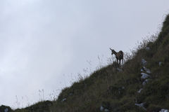 Black goat in the mountains wildlife Royalty Free Stock Images