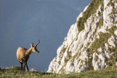 Black goat in the mountains wildlife Stock Images
