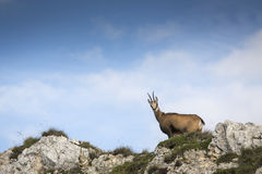 Black goat in the mountains wildlife Stock Image