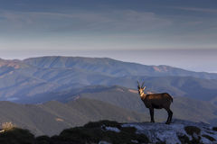 Black goat in the mountains wildlife Stock Photography