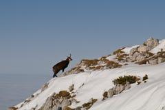 Black Goat, Piatra Craiului Royalty Free Stock Photos