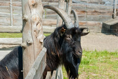 Black goat. Portrait behind a wooden fence. Outdoors Stock Photos