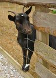 Black goat portrait Stock Image
