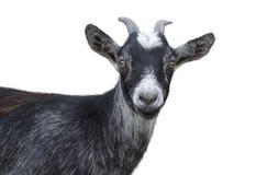 Black goat. Portrait of black goat on a white background royalty free stock photos