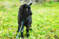 The black goat. Stock Photography